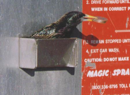 birdwithquartersinmouth