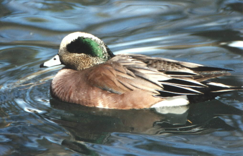 American wigeon - photo#20