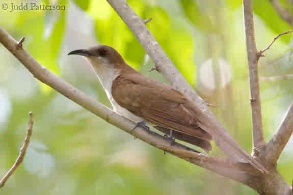 Black cuckoo bird - photo#27