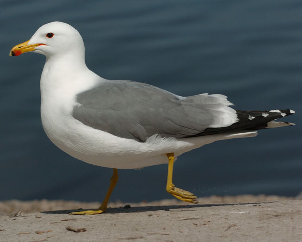 What bird looks like a seagull