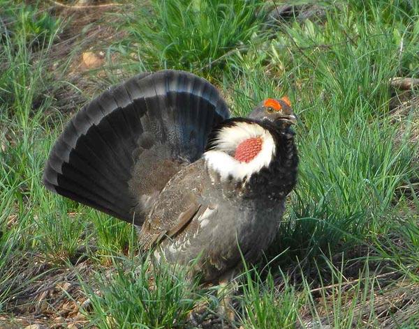 Dusky Blue Grouse Bird Profile - Blue Grouse