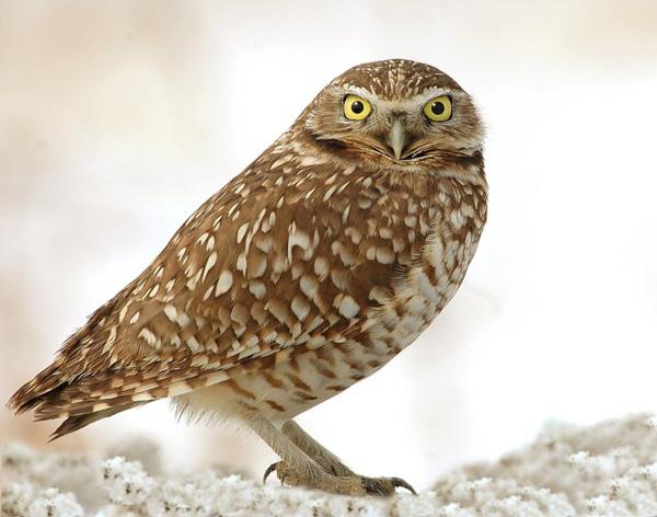 Burrowing owl habitat map - photo#16