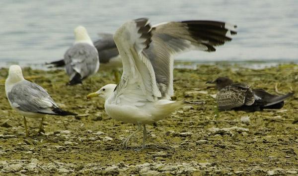 California gull for California chiude l utah