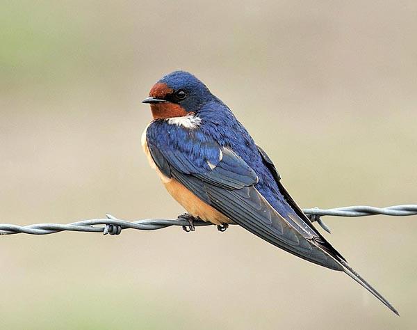 Barn Swallow - Hirundo...