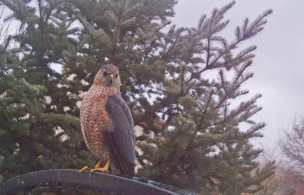 cooper 39 s hawk