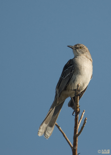 Northern mockingbird in flight