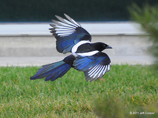 Magpie landing - photo#17