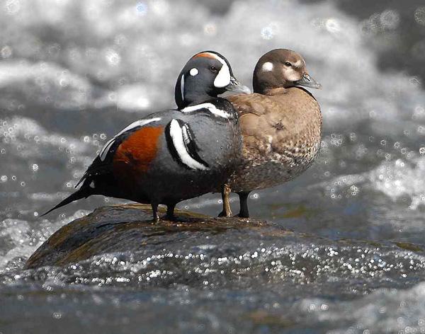 Utah Bird Profile - Harlequin Duck - photo#8