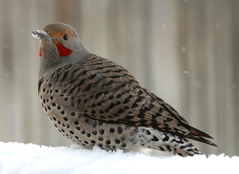 Northern Flicker (Red-shafted Flicker) Colaptes auratus