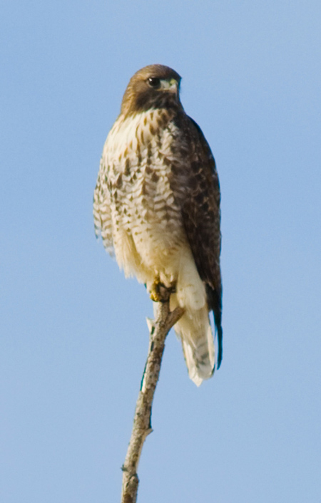 Pictures of red tail hawks