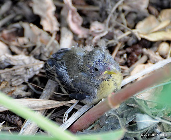 Lesser goldfinch juvenile