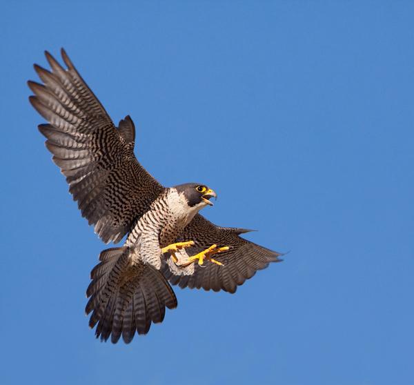 Peregrine Falcon Falcon