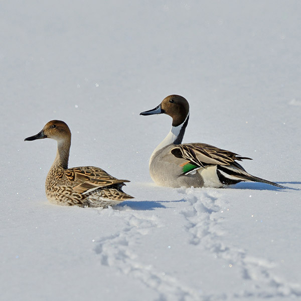 Northern Pintail Flying
