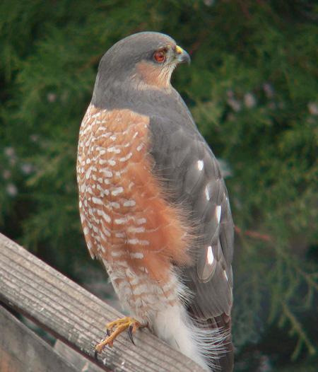 Sharp-shinned Hawk | 450 x 526 jpeg 95kB