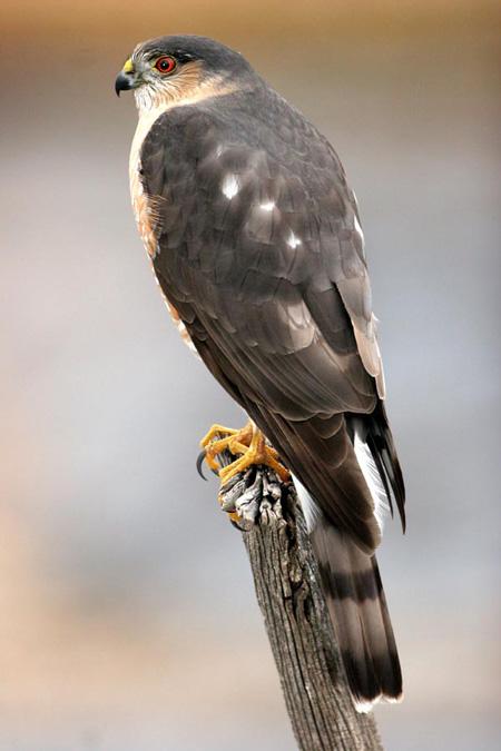 Sharp-shinned Hawk | 450 x 675 jpeg 78kB