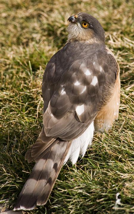 Sharp-shinned Hawk | 450 x 718 jpeg 101kB