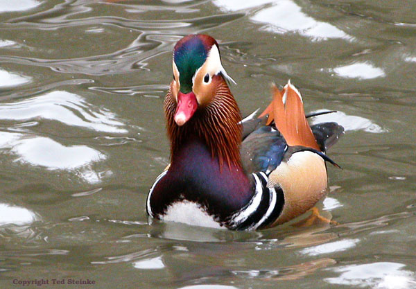 free downlading pics of mandarin duck wiki