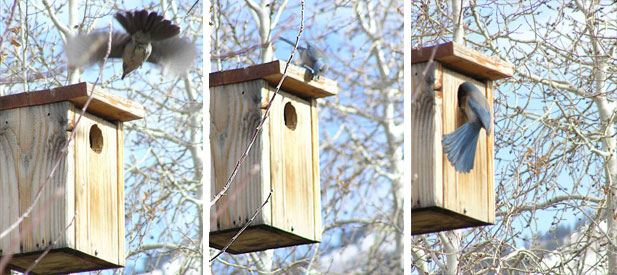 jays mobbing your owl box is a sign that theres an owl inside