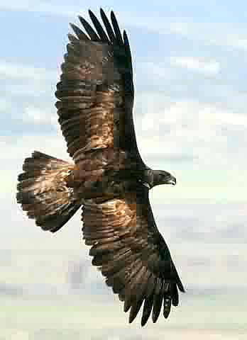 golden eagle flying. Golden Eagle Aquila chrysaetos