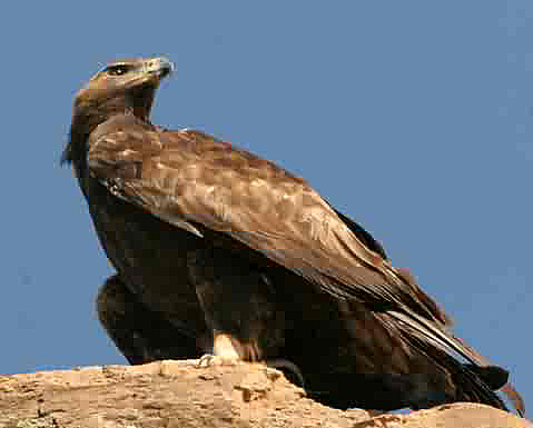 Pictures Of Golden Eagles. Golden Eagle Aquila chrysaetos