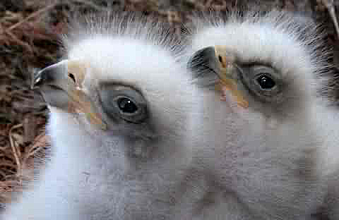 baby golden eagle pictures. Utah Birds Baby Bird Picture
