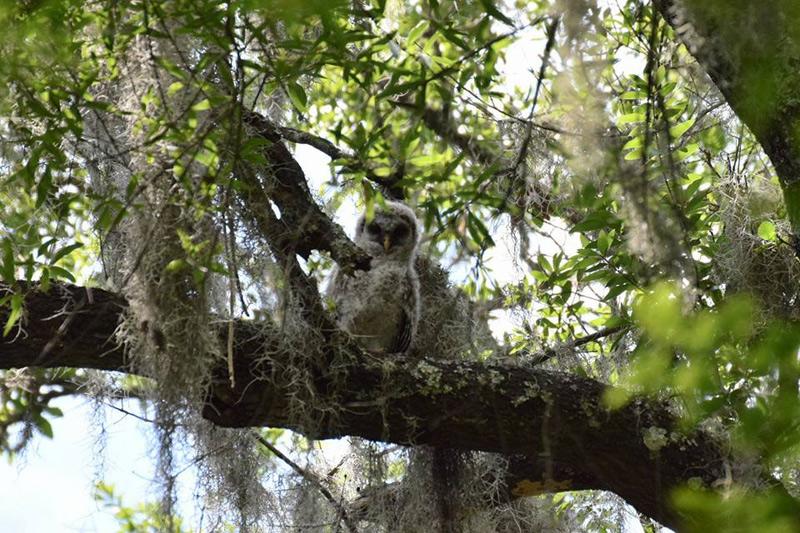 barred owlstrix varia essay Please see our brief essay  strix varia barred owl facebook twitter kingdom animalia animals animalia: information (1) animalia: pictures (20673) animalia.