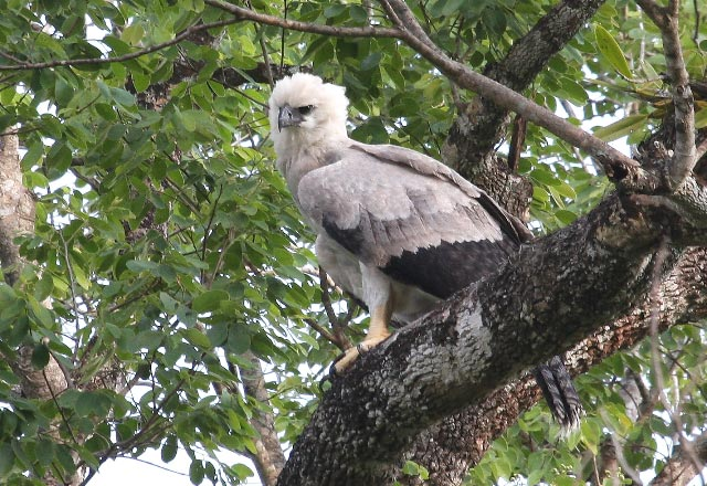 Harpy Eagle Harpy Eagle Harpy Eagle Harpy Eagle Harpy Eagle Harpy Quotes